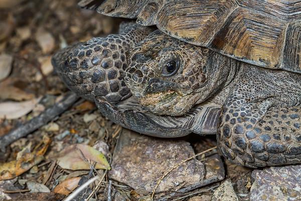 male desert tortoise, Gopherus agassizii (Testudinidae).
