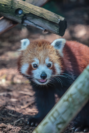 red panda (captive), Ailurus fulgens (Ailuridae). Adelaid
