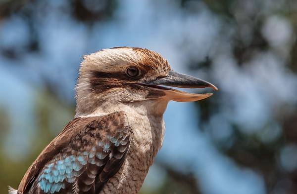 captive blue-winged kookaburra, Dacelo leachii (Coraciiformes, Alcedinidae).  Kangaroo Island Australia