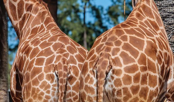 two butts, giraffe (captive), Giraffa camelopardalis (Gir