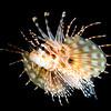 Juvenile Zebra Lionfish (Dendrochirus zebra)