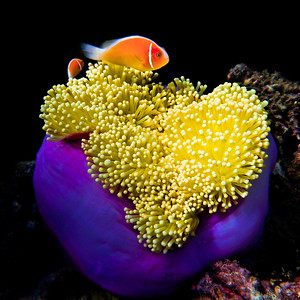 Skunk Clown Fish (Amphiprion perideraion)