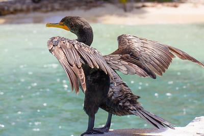 Cormorant doing cormorant things 3