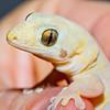 Geko from Lizard Island