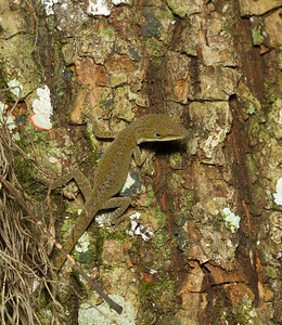 A well-camouflaged anole watches me cautiously in the Timucuan Preserve in Jacksonville, Florida.