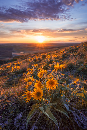 Arrowleaf Illuminated