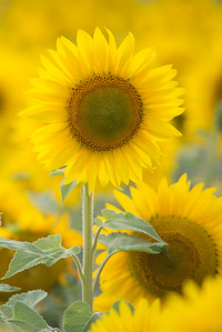 vertical sunflower 12-1