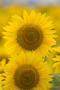 vertical sunflower 10-1