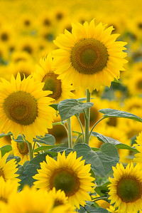 vertical sunflower 7-2