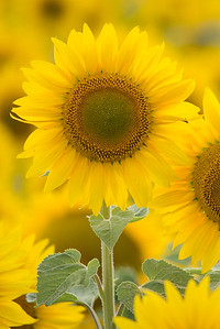 vertical sunflower 8-1