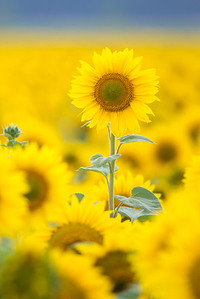 vertical sunflower-1