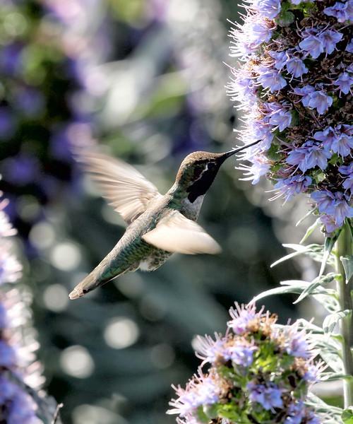 Anna's Hummingbird Pebble Beach