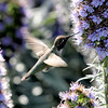 Anna's Hummingbird Pebble Beach