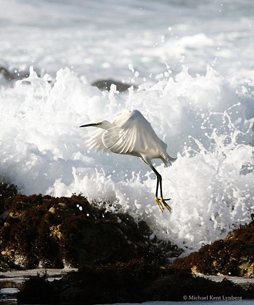 Snowy Egret Pebble Beach