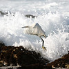 Snowy Egret Pebble Beach