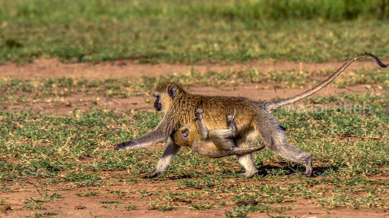 Vervet mother on the move with her baby clinging in Masai Mara.