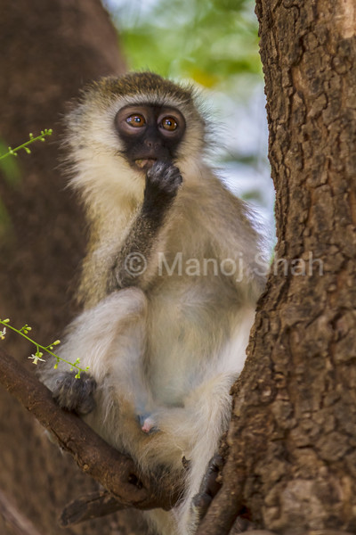 Male vervet mokey on a tree in Lake Bogoria National Reserve, Kenya