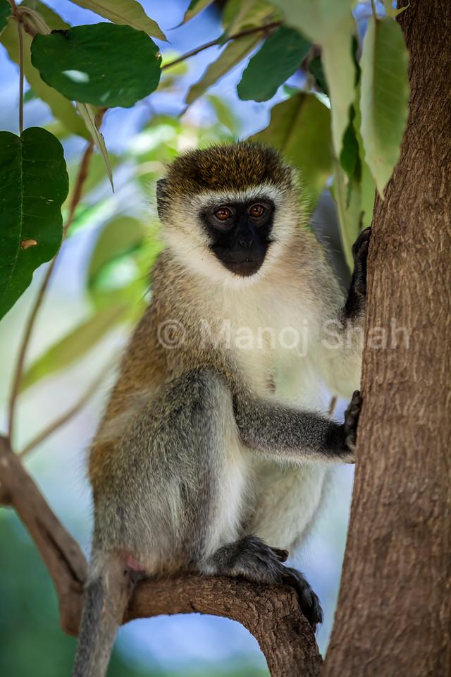 Vervet monkey on a tree at Lake Bogoria National Resort, Kenya