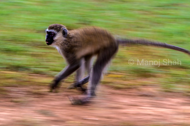 Vervet monkey running in lake Bogoria National Reserve, Kenya