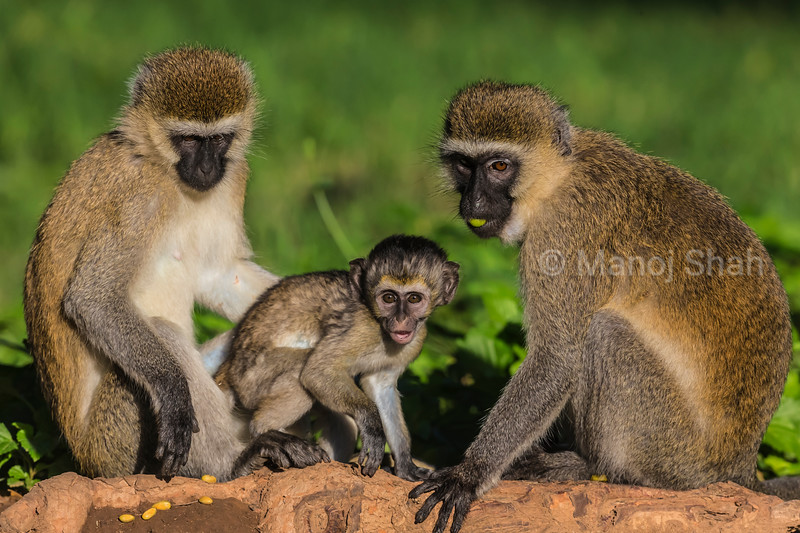 Vervet females and baby eating wild tree fruits