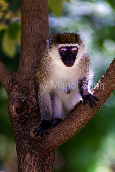 Vervet monkey on a tree at Lake Bogoria National Resort, Kenya