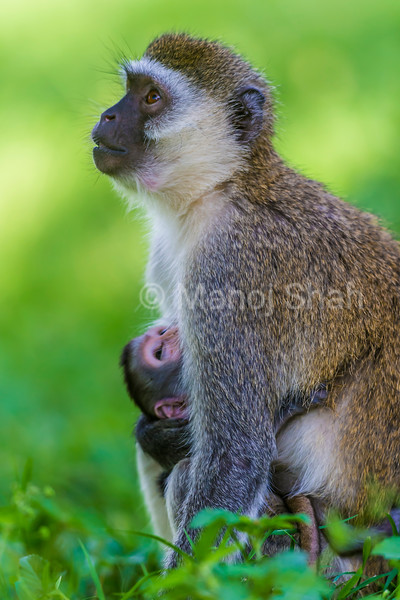 Vervet monkey mother and baby looking at vultures