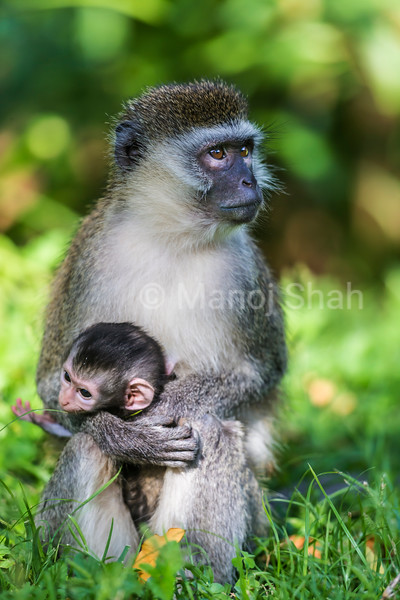Vervet mother and baby looking at vultures