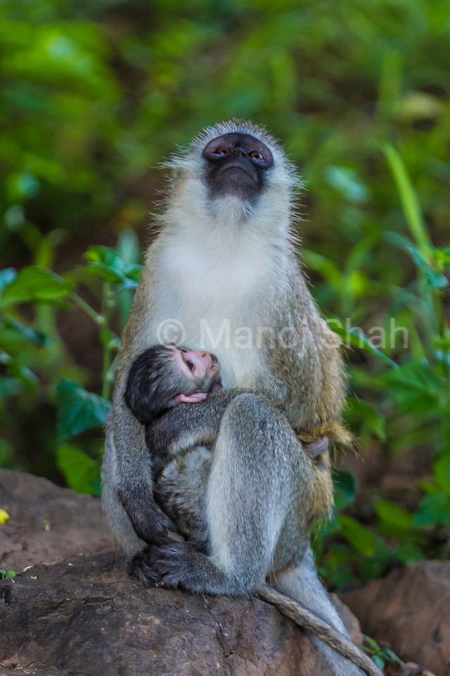 Vervet mother feeding baby in a Great Rift Valley forest.
