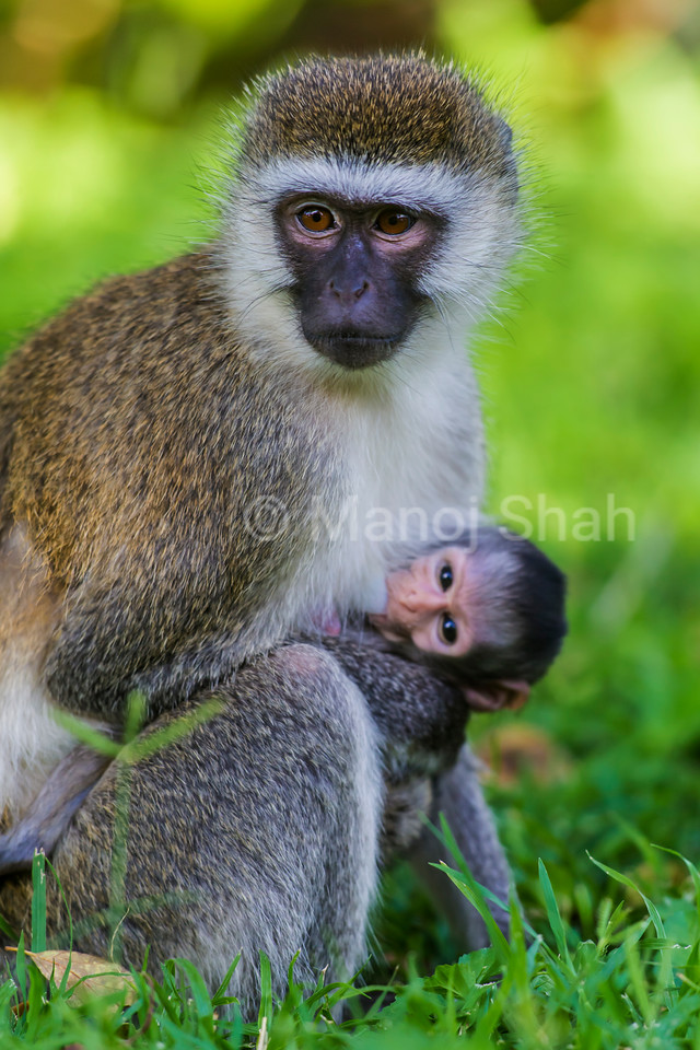 Vervet monkey mother with suckling baby