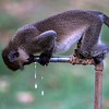 Vervet Monkey drinking tap water