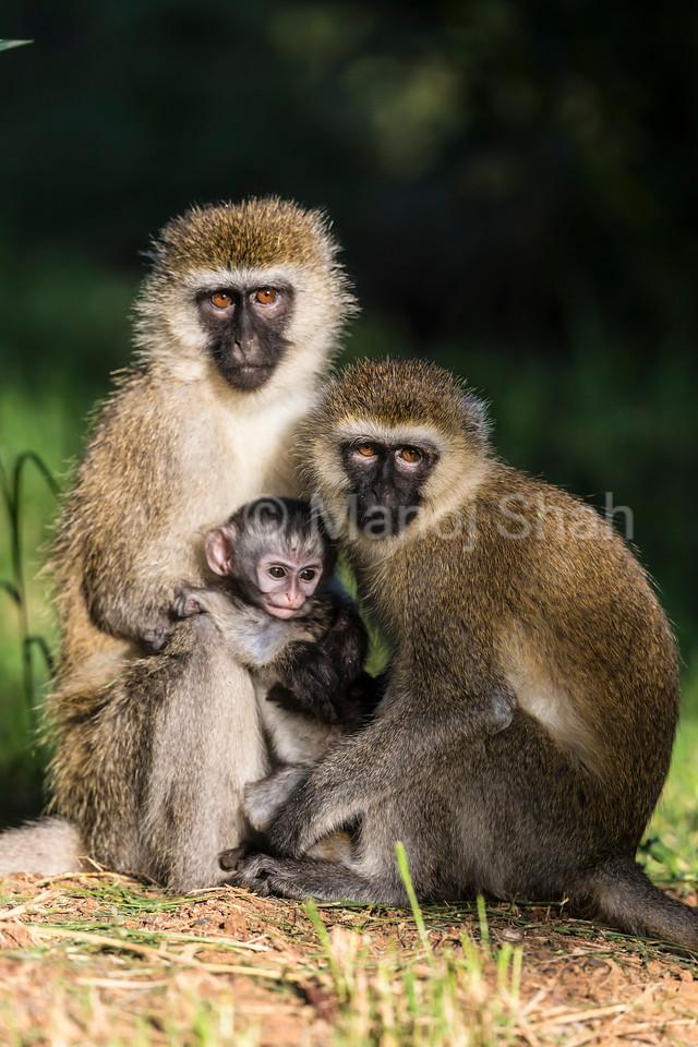 Vervet monkey females with baby