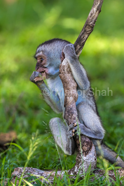 Vervet youngster playing with a fallen branch in Masai Mara