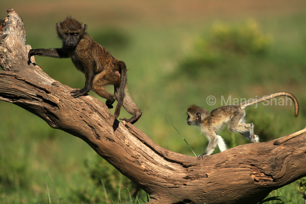 Vervet and baboon