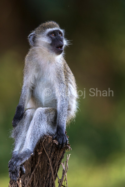 Vervet Monkey on tree