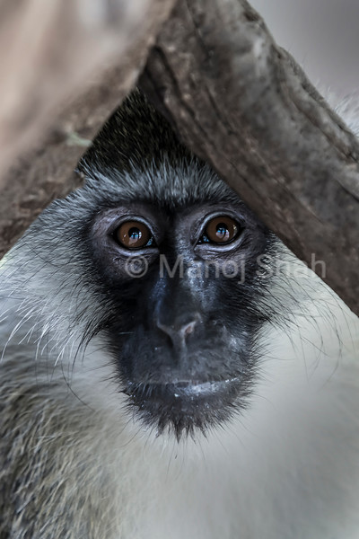 Vervet monkey peeping through tree branches.