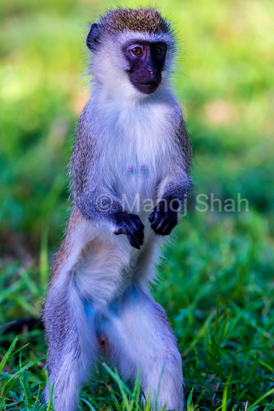 Vervet monkey observing his troop standing up.