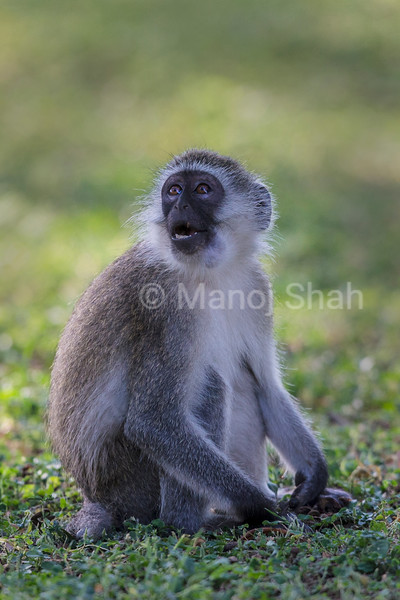 Vervet Monkey looking at vulture flying above