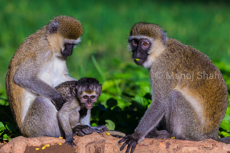 Vervet baby with mother and adult sitting grooming.