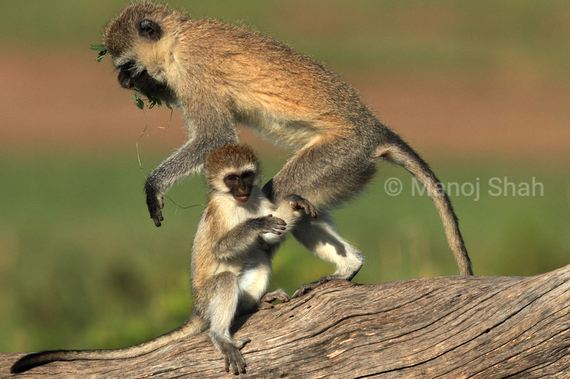 Mother and baby Vervet
