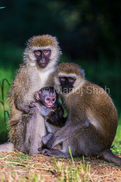 Vervet baby with mother and adult sitting closely together