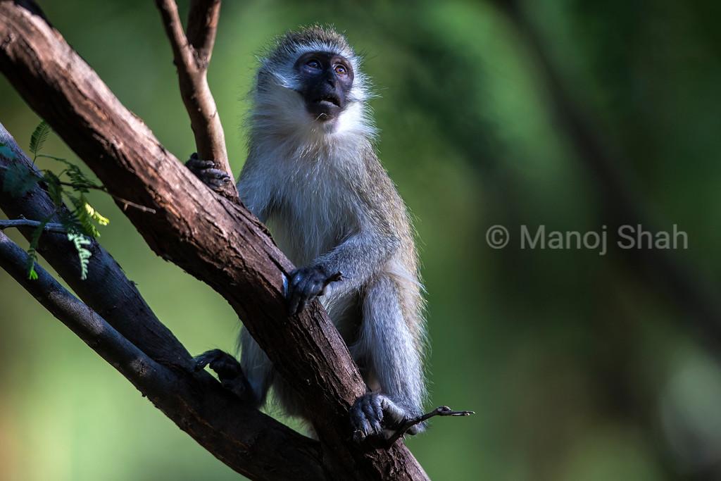 Vervet Monkey on tree