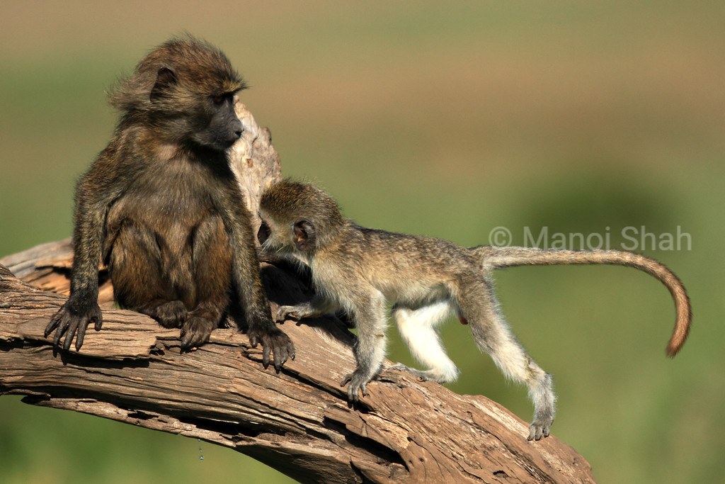 Vervet and baboon
