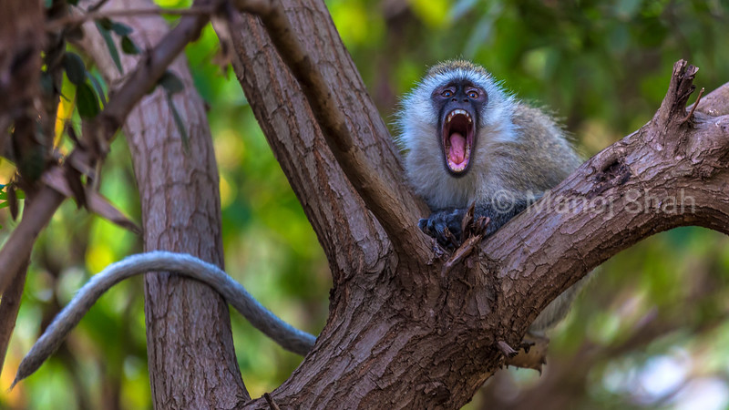 Vervet monkey yawning
