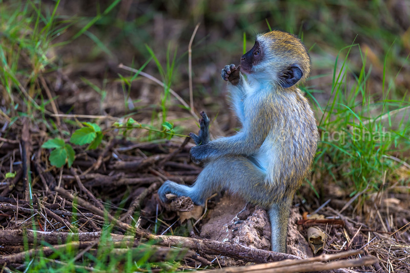 Vervet monkey youngster in amboseli National Park.