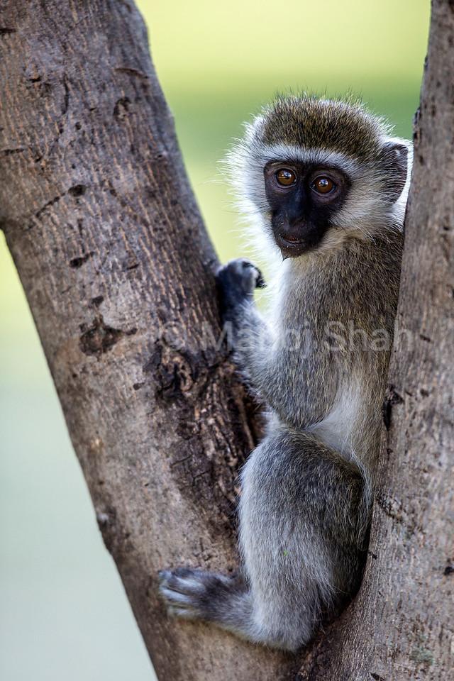 Vervet Monkey sitting on a tree