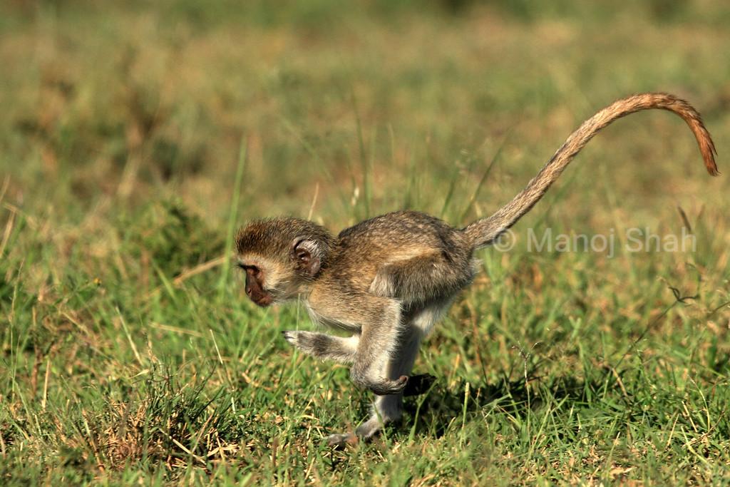Vervet baby running