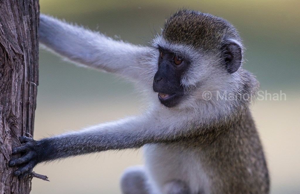 Vervet Monkey playing with tree trunk