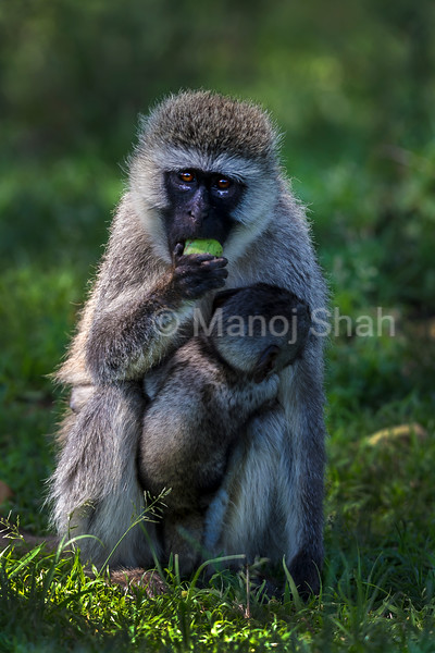 Verver mother eating tree fruit while holding baby in Masai Mara.