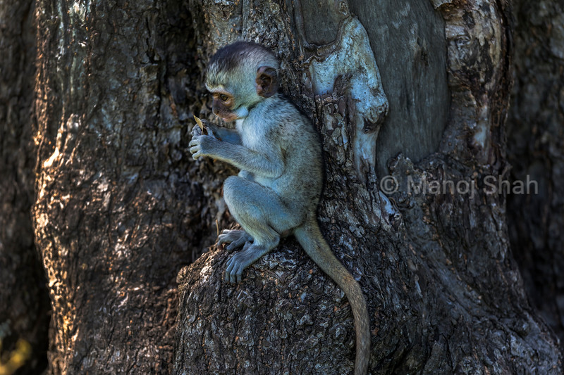 Vervet monkey exmining a leaf on a tree in Masai Mara.