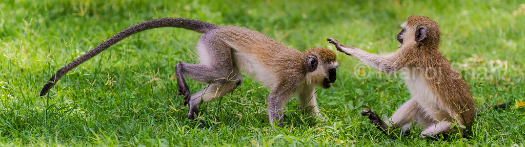 Vervet monkey youngsters playing